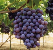 Apulia Rose Seedless Grapes
