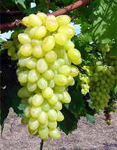 Centennial Seedless Grapes