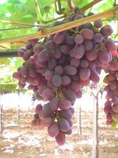 Grapes Crimson Seedless