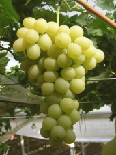 Italy Grapes